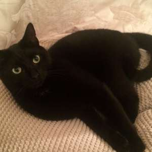 Lost: Black cat with a small white mark  on the neck called Denzel in Wendover, Carrington Crescent.