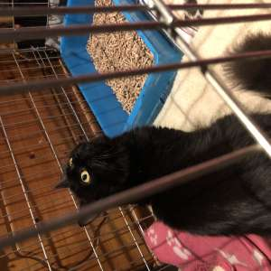 Found: Young female black cat found between Sirius lake and Bourn Road