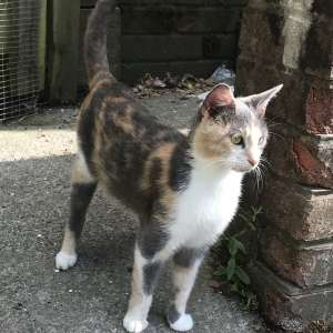 Lost: I have lost my 2 year old cat Princess in the Hafod Las area of Pencoed
