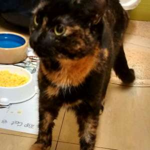 Lost: Tortoiseshell female cat called amber last seen 16,6,17 ginger front feet ,ginger on back of head and on chest  . The rest mixed dark