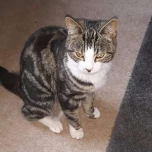 Lost: Tabby and white small female cat
