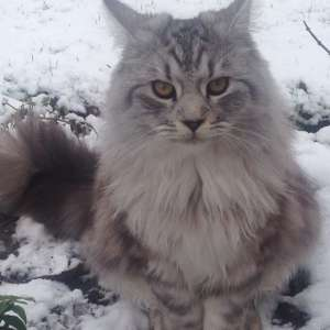 Lost: MAINE COON CAT