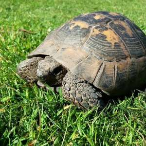 Lost: We've lost our pet tortoise Alfie! He went missing from our garden in Messing on Tuesday 23rd of August.