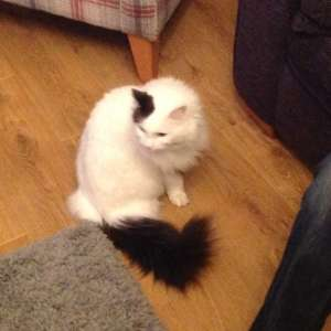 Lost: White long haired cat with one brown ear, a brown tail and blue eyes