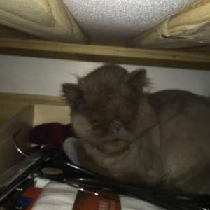Lost: Lost Persian grey cat