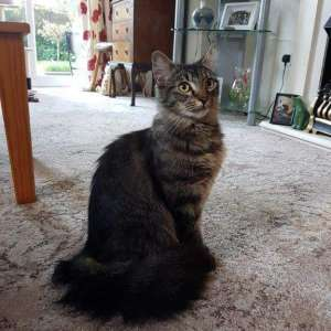 Lost: Brown Striped Longhaired Cat Lost off Pagham Road